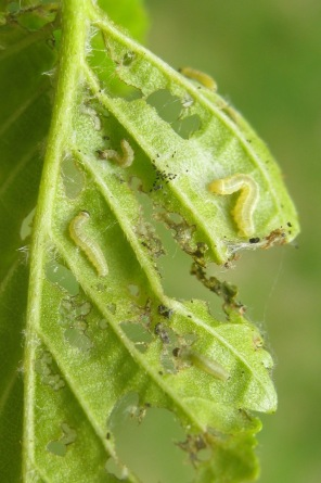 3-leaf-with-2nd-and-3rd-instar-caterpillars