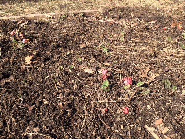notillrhubarb